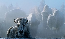 Steam from a geothermal spring coats bison in f...