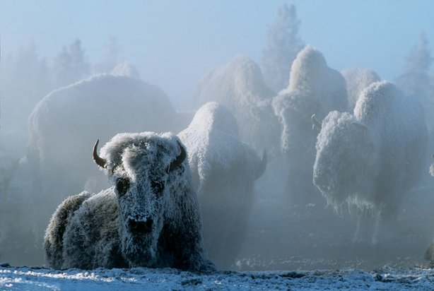 Steam from a geothermal spring coats bison in frost in this program, which presents a breathtaking look at wintertime deep within America's first national park, including bountiful wildlife and pristine landscapes.