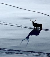A solitary bull elk follows other elk tracks, just after sunrise in Yellowstone National Park.