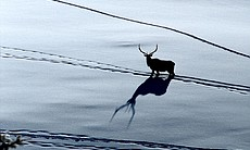 A solitary bull elk follows other elk tracks, j...