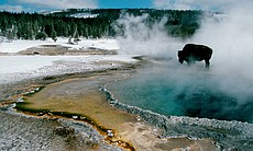 A bison stops near Crested Pool in the Upper Ge...