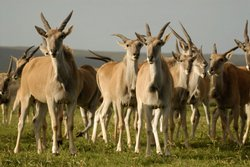 Eland herd on the grasslands of southern Africa.