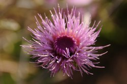 Flower blooming on Myers Fire Road at Palomar Mountain State Park taken Jun 1...