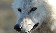 Close up of a white wolf.