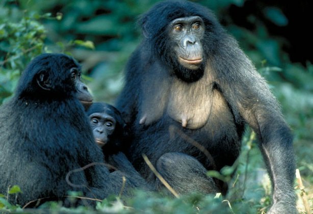 Three bonobos sitting together. Unlike chimps, known for their violent behavior, bonobos are far more peaceful, even matriarchal.