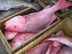 Red snapper caught by commercial fishermen await shipment on a dock in South Carolina.
