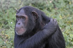 Chimpanzees are our closest living relatives — we share 99 percent of our DNA.