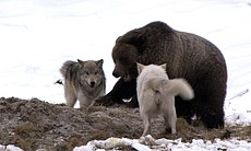 Grizzly and wolves. This film offers arresting showdowns between grizzlies an...