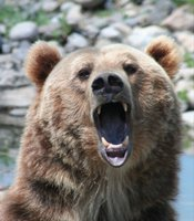 Find out what happens when two great predators come face to face in Yellowstone. Pictured: Grizzly bear.