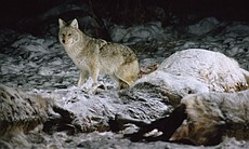 This film offers arresting showdowns between wolves and grizzly bears and reveals details of their social lives and survival strategies, as well as those of other animals in Yellowstone, from coyote (pictured) to otters.
