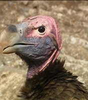 Lappet-face vulture; Namibia, southern Africa