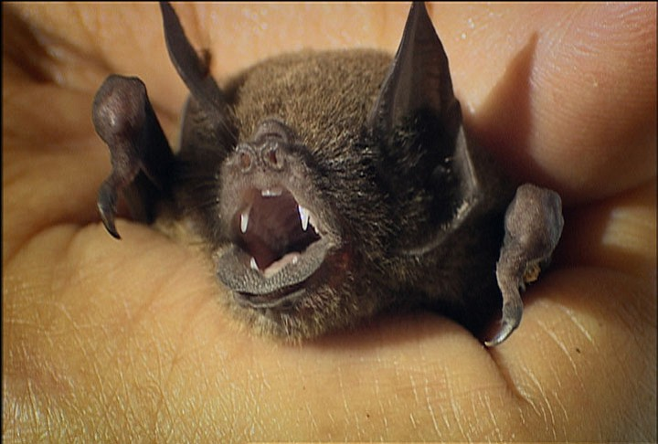 Moustache bat; Chaa Creek, Belize, Central America
