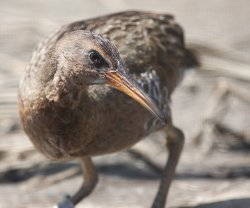 A light-footed clapper rail photographed in San Diego on June 7, 2009.