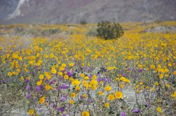 Purple and yellow flowers bloom in the Anza-Borrego Desert, March 16, 2008.