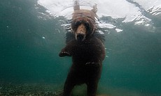 Fattening up for winter, a brown bear waits to snatch salmon in Kuril Lake, located in the southern region of the Kamchatka Peninsula. Photo by Randy Olson published in National Geographic Magazine, August 2009.