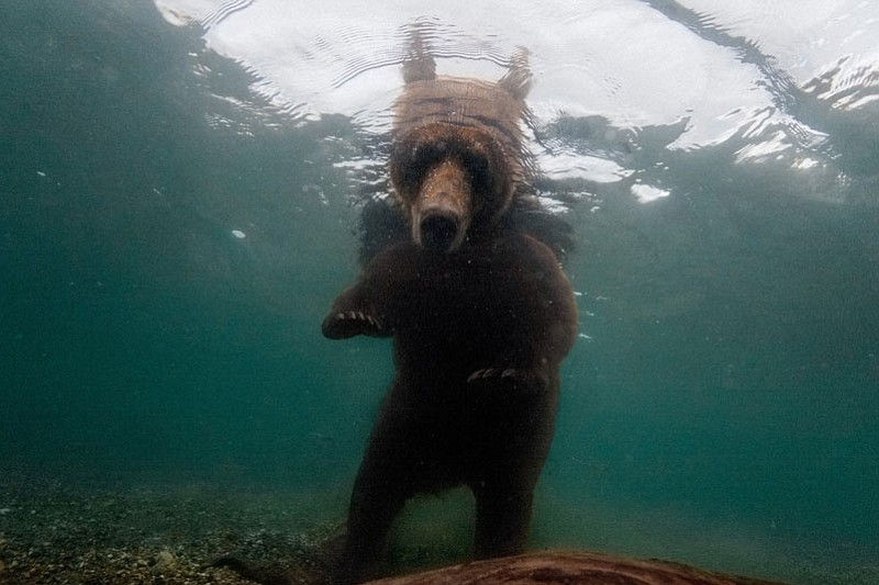 Fattening up for winter, a brown bear waits to snatch salmon in Kuril Lake, l...