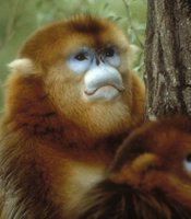 """""""Clever Monkeys"""" features the golden snubnose monkey of China. These rare and curious monkeys live high in the Sichuan Mountains. Their curly lips and blue eye-shadow are a mystery."""