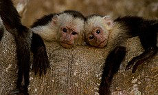 White faced capuchins in a tree