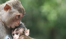 Rhesus macaque and baby
