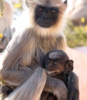 """Clever Monkeys"" features a Hanuman langur and her baby in India. Baby monkeys grow very slowly to allow time for their brains to develop."