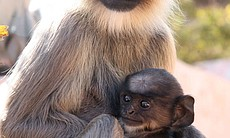 """Clever Monkeys"" features a Hanuman langur and her baby in India. Baby monkey..."