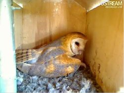 Molly, the San Marcos Owl who has laid six eggs, two of which hatched on came...