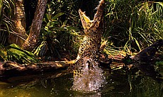 Using the latest state-of-the-art imaging technologies, this episode examines the Cuban crocodile's amazing ability to jump as much as six feet to catch its prey.