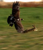 Image of an eagle in flight catching a rabbit. An eagle, with orbs larger than its brain, can spot a rabbit or other prey from hundreds of feet away. A rabbit skull is built on a shock-absorbing joint, helping to stabilize vision while leaping at top-speed to escape predators.