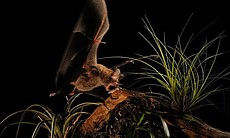 "This program takes an innovative and revolutionary look at the bio-engineering of ""how animals work."" Pictured: A fringe-lipped bat catching frog."