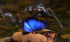 "A basilisk lizard ""walks"" on water to catch a butterfly."