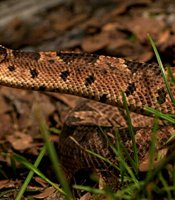 Using the latest state-of-the-art imaging technologies, this episode examines the ingenuous defensive strategy of a squirrel when confronted with a rattlesnake (shown). The snake hunts by using heat-sensing pits on the side of its head. The squirrel flicks its tail to increase its heat profile to fool the snake into believing it's larger than it actually is.