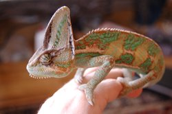 A veiled chameleon with green spots perches on its owners hand.