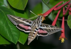 A White-lined sphinx moth behaves like a hummingbird as it hovers near flower...