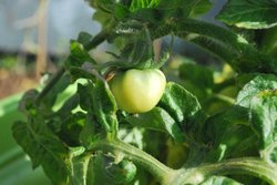 A tomato ripens on the vine of a San Diego resident's garden. According to Nan Sterman, springtime is a great time to plant and grow tomatoes in your vegetable garden.