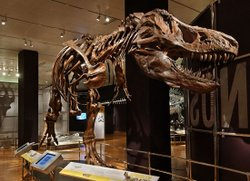 A full-size cast skeleton of a T. rex in a dynamic pose standing on one leg and bearing down on visitors below is on exhibit at the San Diego Natural History Museum.
