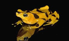 The golden frog used to be common in Panama. Today, these rare beauties are found only in captivity. Biologists are trying to keep the species alive in hopes that it will someday be returned to the wild.