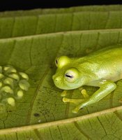This male frog from Panama protects his young tadpoles until they hatch, keeping them moist and fending off predators.