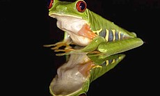 Red-eyed tree frog - It is the greatest mass extinction since the dinosaurs. Large-scale die-offs of frogs, some of the most diverse and charismatic creatures on earth, have prompted scientists to take desperate measures to try to save those they can.
