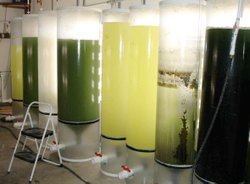 Algae get their start in large Sun Tubes. Note the stepstool in the photo for a size comparison.