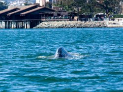 A gray whale swims alone in the waters of San Diego Bay on March 13, 2009. A similar gray whale has recently been spotted again in these same waters.