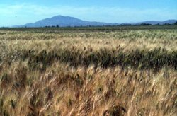 Forty percent of Mexicali's wheat crop was damaged from the earthquake. The wheat is prized in Italy for making pasta.