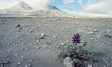 A single lupine plant was the first sign of the return of life.