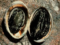 Diseased and healthy black abalone, which was declared an endangered species ...