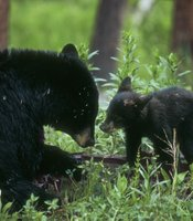 A female black bear and her cub (Yellowstone, Wyoming).