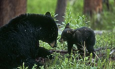 A female black bear and her cub (Yellowstone, Wyoming).  (4702)