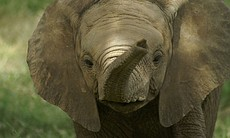 A baby elephant named Breeze. The first hours of an animal's life are some of...