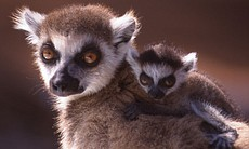 A ring-tailed lemur and her baby are among the ...