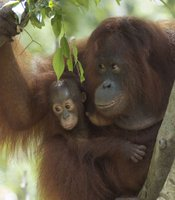 Orangutan mother and baby in a tree (Banghamat Island, Nyaru Menteng, Central Kalimantan, Indonesian Borneo) are among the animals featured in this program, which captures the precious and perilous beginnings of creatures in the wild, from lions to toads.