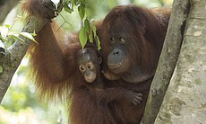 Orangutan mother and baby in a tree (Banghamat ...