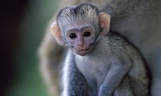 A baby vervet monkey (Samburu National Reserve, Kenya).